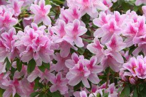 Pink Ruffle Azaleas