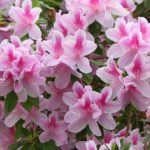 pink ruffled azaleas