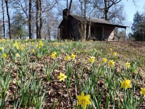Cabin and daffodils